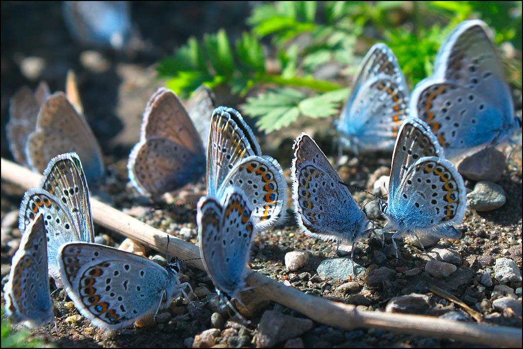 Бабочки голубянки в Уймонской степи