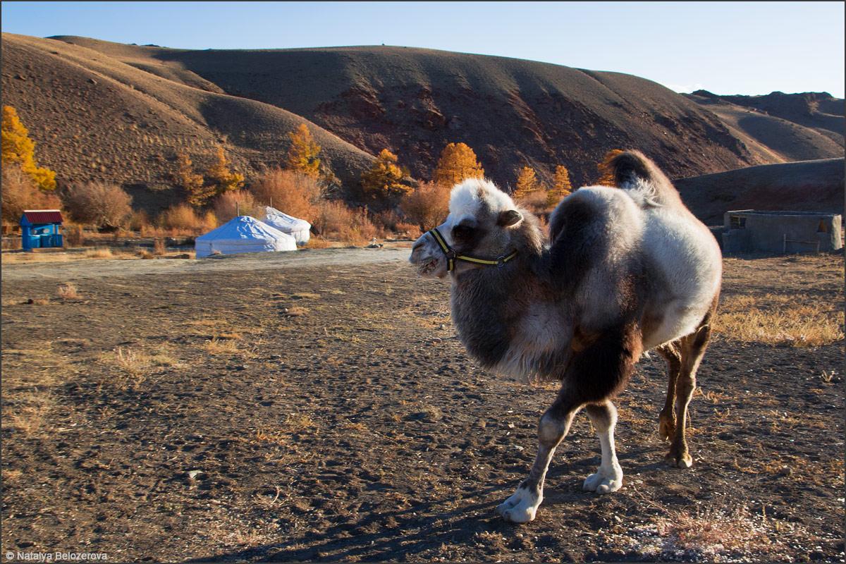 Верблюд Алтын в кемпинге Тыдтуярык