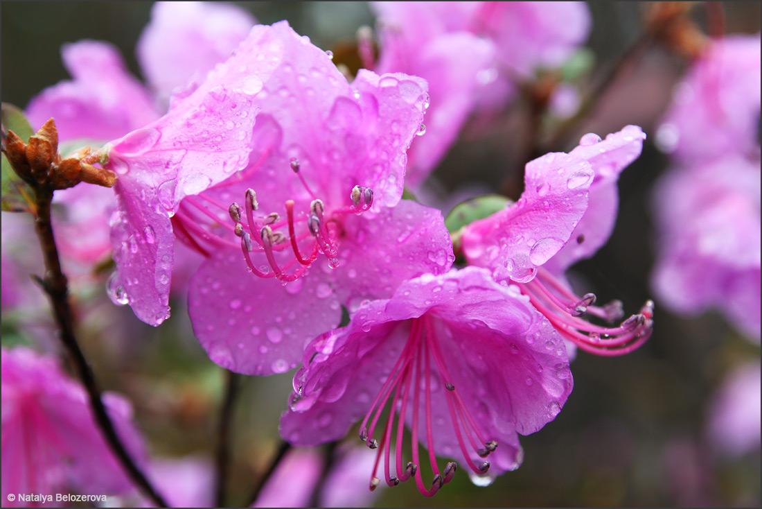 Цветение маральника в мае