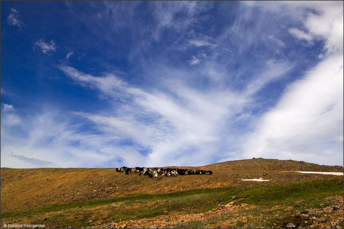 Стадо сарлыков на склонах близ перевала Карагем